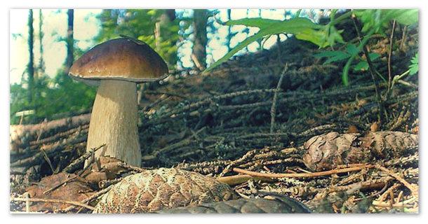 Доклад про белый гриб.